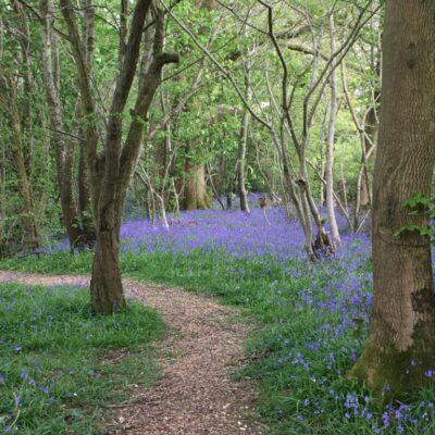 Bluebells, English country walks