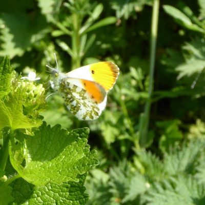 English Cottage Vacation Butterfly