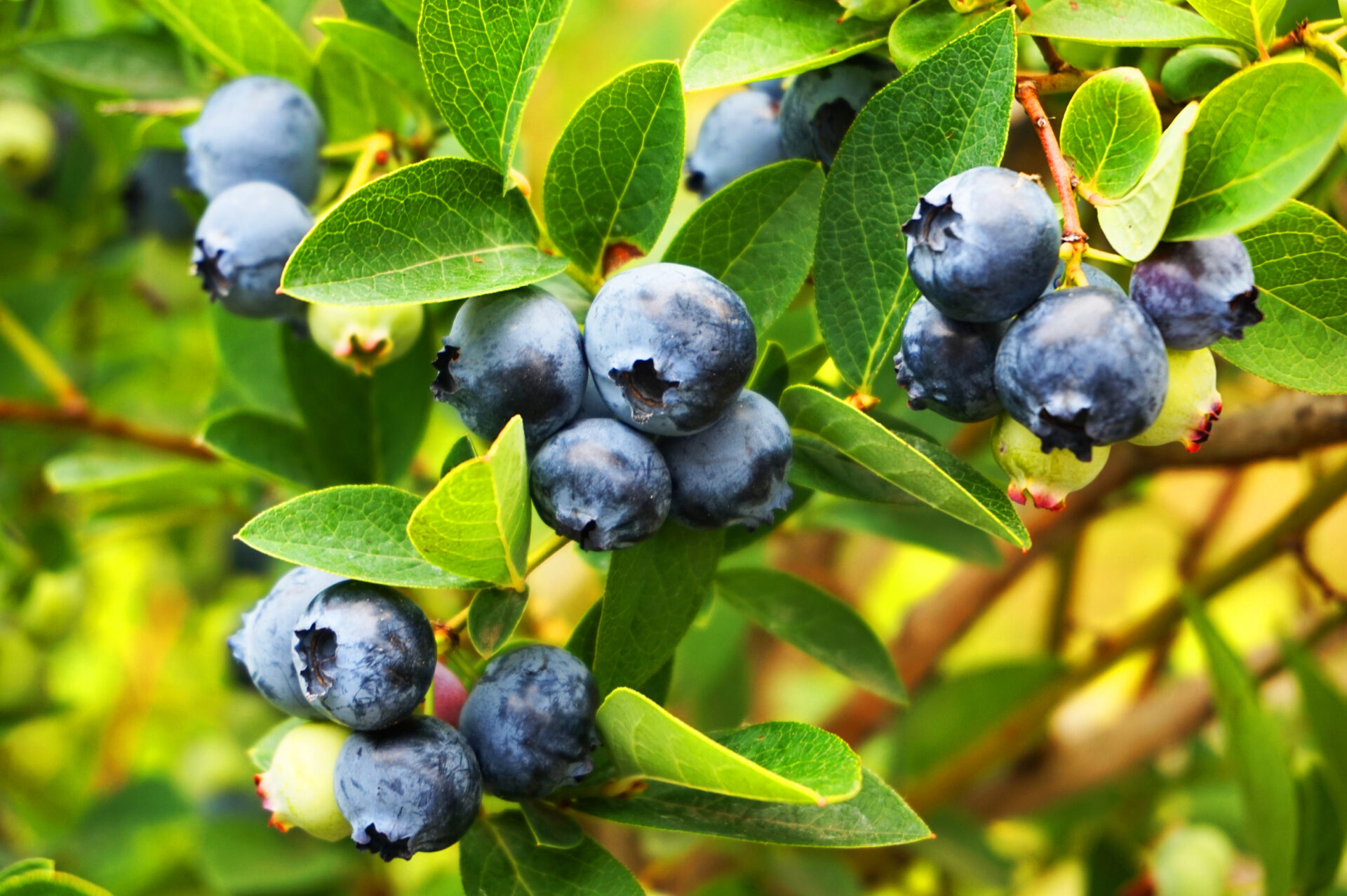 blueberries plant with fruits as nice natural background